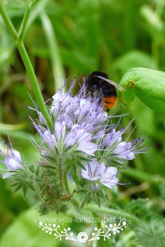 Beetle37