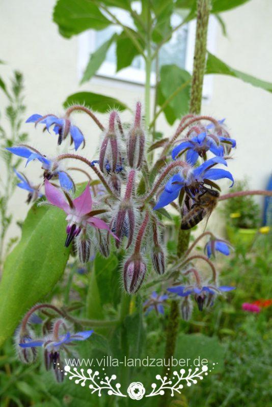 Beetle41