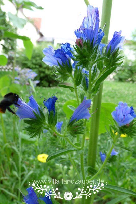 Beetle51